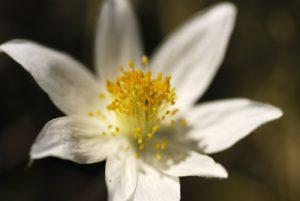 Fleurs du Vercors : Anémone des Alpes (Pulsatilla alpina)<br> Réserve Naturelle Nationale des Hauts Plateaux du Vercors<br> Parc Naturel Régional du Vercors