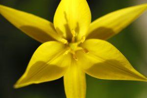 Tulipe australe (Tulipa sylvestris australis)<br> Réserve Naturelle Nationale des Hauts Plateaux du Vercors<br> Parc Naturel Régional du Vercors