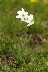 Le Narcisse des poètes (Narcissus poeticus)<br> Réserve Naturelle Nationale des Hauts Plateaux du Vercors<br> Parc Naturel Régional du Vercors