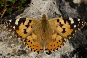 Papillon La Belle Dame (Vanessa cardui)<br> Réserve Naturelle Nationale des Hauts Plateaux du Vercors<br> Parc Naturel Régional du Vercors