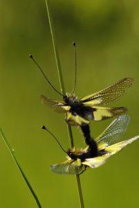 Accouplementd'Ascalaphe soufré (Libelloides coccajus)<br> Le cirque d'Archiane<br> Parc Naturel Régional du Vercors