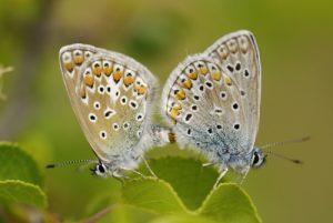 Accouplement de papillons Azuré (Lycaenidae)<br> Le cirque d'Archiane<br> Parc Naturel Régional du Vercors