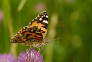 Papillon La Belle Dame (Vanessa cardui)<br> Les gorges du Gatz<br> Parc Naturel Régional du Vercors