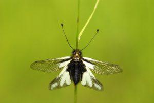 Ascalaphe soufré (Libelloides coccajus)<br> Les gorges du Gatz<br> Parc Naturel Régional du Vercors