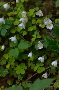 Flore du PNR du Vercors<br> Les Gorges du Rio Sourd<br> Les Gorges du Gâts<br> Parc Naturel Régional du Vercors