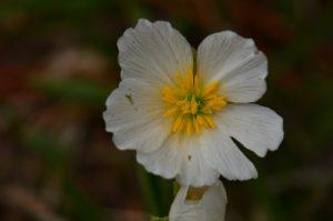 Flore du PNR du Vercors<br> Le Vallon de Combau<br> Réserve Naturelle Nationale des Hauts Plateaux du Vercors<br> Parc Naturel Régional du Vercors