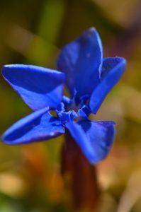 Gentiane (Gentiana sp.)<br> Le Vallon de Combau<br> Réserve Naturelle Nationale des Hauts Plateaux du Vercors<br> Parc Naturel Régional du Vercors