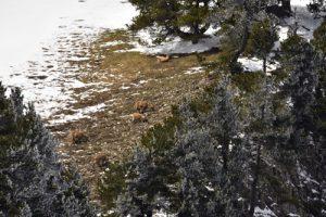 Le Bouquetin des Alpes (Capra ibex)<br> Le Vallon de Combau<br> Réserve Naturelle des Hauts Plateaux du Vercors<br> Parc Naturel Régional du Vercors