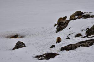 Les Marmottes (Marmota)<br> Le Vallon de Combau<br> Réserve Naturelle Nationale des Hauts Plateaux du Vercors<br> Parc Naturel Régional du Vercors