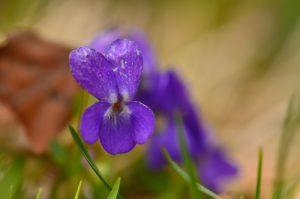 Pensée (Viola sp.)<br> Le Vallon de Combau<br> Réserve Naturelle Nationale des Hauts Plateaux du Vercors<br> Parc Naturel Régional du Vercors