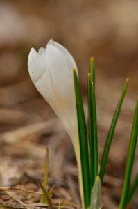 Le Crocus blanc (Crocus vernus)<br> Le Vallon de Combau<br> Réserve Naturelle Nationale des Hauts Plateaux du Vercors<br> Parc Naturel Régional du Vercors