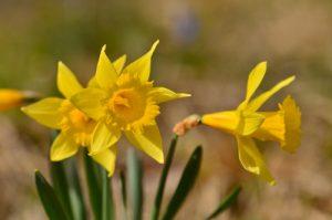La Jonquille (Narcissus pseudonarcissus)<br> Le Vallon de Combau<br> Réserve Naturelle Nationale des Hauts Plateaux du Vercors<br> Parc Naturel Régional du Vercors