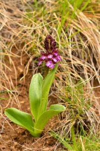 L'Orchis pourpre (Orchis purpurea)<br> Le Cirque d'Archiane<br> Parc Naturel Régional du Vercors