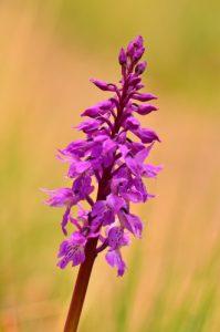 Orchidée du genre Dactylorhiza (Dactylorhisa sp.)<br> Le Cirque d'Archiane<br> Parc Naturel Régional du Vercors