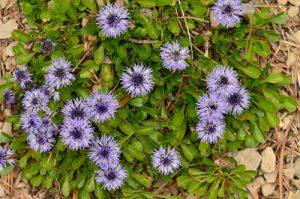 La Globulaire commune (Globularia bisnagarica)<br> Le Cirque d'Archiane<br> Parc Naturel Régional du Vercors