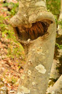 Hêtre (Fagus sylvatica)<br> Le Cirque d'Archiane<br> Parc Naturel Régional du Vercors