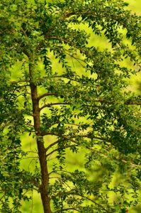 Le Buis commun ou Buis toujours vert (Buxus sempervirens)<br> Le Cirque d'Archiane<br> Parc Naturel Régional du Vercors