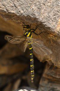 La libellule Cordulégastre bidenté (Cordulegaster bidentata)<br> La cascade de la Pisse<br> Le vallon du Rabioux<br> Parc Naturel National des Écrins