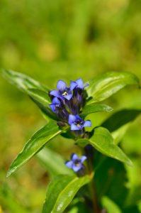 La Gentiane croisette (Gentiana cruciata)<br> Le vallon du Rabioux<br> Parc Naturel National des Écrins