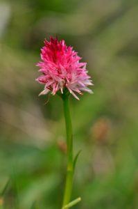 L'Orchidée Nigritelle de Cornelia (Gymnadenia nigra subsp. corneliana)<br> Les Lacs de Cayolle<br>  Parc Naturel National du Mercantour