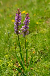 L'Orchidée Orchis moustique (Gymnadenia conopsea)<br> Les Lacs de Cayolle<br> Parc Naturel National du Mercantour