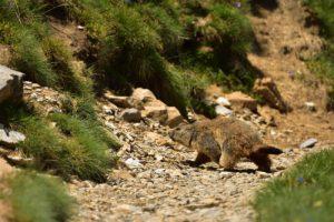 La Marmotte des Alpes (Marmota marmota)<br> Les Lacs de Cayolle<br> Parc Naturel National du Mercantour