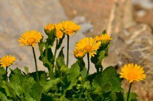 La Doronic à grandes fleurs (Doronicum grandiflorum)<br> Les Lacs de Cayolle<br> Parc Naturel National du Mercantour