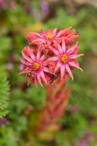 La Joubarbe des montagnes (Sempervivum montanum)<br> Les Lacs de Cayolle<br> Parc Naturel National du Mercantour