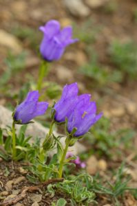 Flore du PNN du Mercantour<br> Les Lacs de Cayolle<br> Parc Naturel National du Mercantour