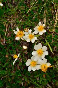 Dryade à huit pétales (Dryas octopetala)<br> Les Lacs de Cayolle<br> Parc Naturel National du Mercantour