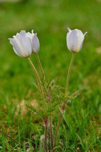 La Pulsatille des Alpes (Anemone alpina)<br> Les Lacs de Cayolle<br> Parc Naturel National du Mercantour