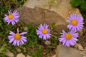 L'Aster des Alpes (Aster alpinus)<br>