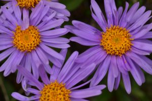 L'Aster des Alpes (Aster alpinus)<br> Les Lacs de Cayolle<br> Parc Naturel National du Mercantour