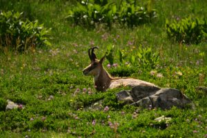 Le Chamois (Rupicapra rupicapra)<br> Le Lac d'Allos<br> Parc Naturel National du Mercantour