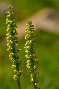 L'Orchis blanchâtre (Leucorchis albida)<br> Le Lac d'Allos<br> Parc Naturel National du Mercantour