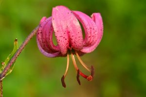 Le Lys martagon (Lilium martagon)<br> Le Lac d'Allos<br> Parc Naturel National du Mercantour