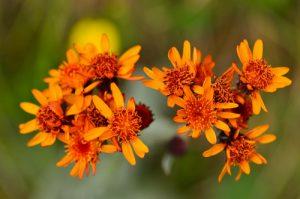 Le Séneçon Téphoseris en capitule (Tephroseris integrifolia)<br> Cirque du Salso Moreno<br> Parc Naturel National du Mercantour