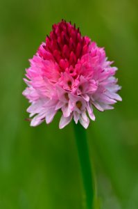 L'Orchidée Nigritelle de Cornelia (Gymnadenia nigra subsp. corneliana)<br> Les Lacs d'Agnel du Cirque du Salso Moreno<br> Parc Naturel National du Mercantour