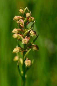 L'Orchidée Orchis grenouille (Dactylorhiza viridis)<br> Les Lacs d'Agnel du Cirque du Salso Moreno<br> Parc Naturel National du Mercantour