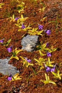 La Grassette commune (Pinguicula vulgaris)<br> Les Lacs d'Agnel du Cirque du Salso Moreno<br> Parc Naturel National du Mercantour