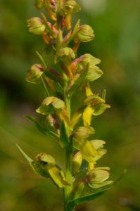 L'Orchidée Orchis grenouille (Dactylorhiza viridis)<br> Cirque du Salso Moreno<br> Parc Naturel National du Mercantour