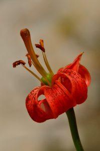 Le Lys turban (Lilium pomponium)<br> Haute Vallée du Verdon<br> Parc Naturel National du Mercantour