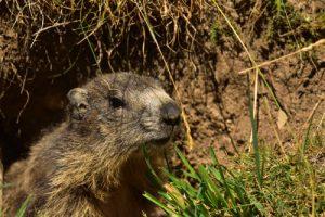 La Marmotte des Alpes (Marmota marmota)<br> Vallon du Lauzanier<br> Parc Naturel National du Mercantour