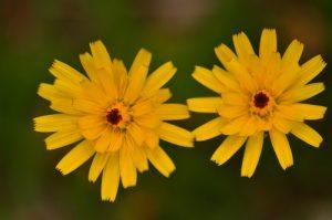 L'Épervière à feuille de statice (Hieracium staticifolium)<br> Vallon de la Braissette<br> Parc Naturel National du Mercantour