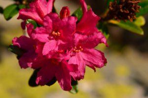 Rhododendron ferrugineux (Rhododendron ferrugineum)<br> Vallon de la Braissette<br> Parc Naturel National du Mercantour