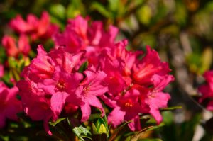 Rhododendron ferrugineux (Rhododendron ferrugineum)<br> Vallon de la Braissette<br> Parc Naturel National du Mercantour