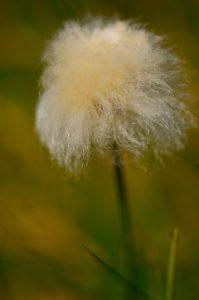 Linaigrette de Scheuchzer (Eriophorum scheuchzeri)<br> Vallon de la Braissette<br> Parc Naturel National du Mercantour
