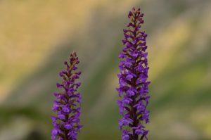 L'Orchis moucheron ou moustique (Gymnadenia conopsea)<br> Vallon de la Braissette<br> Parc Naturel National du Mercantour