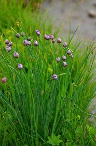 La Ciboulette (Allium schoenoprasum)<br> Vallon de la Braissette<br> Parc Naturel National du Mercantour