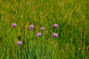 La Ciboulette (Allium schoenoprasum)<br> Vallon de la Braissette<br> Parc Naturel National du Mercantour
